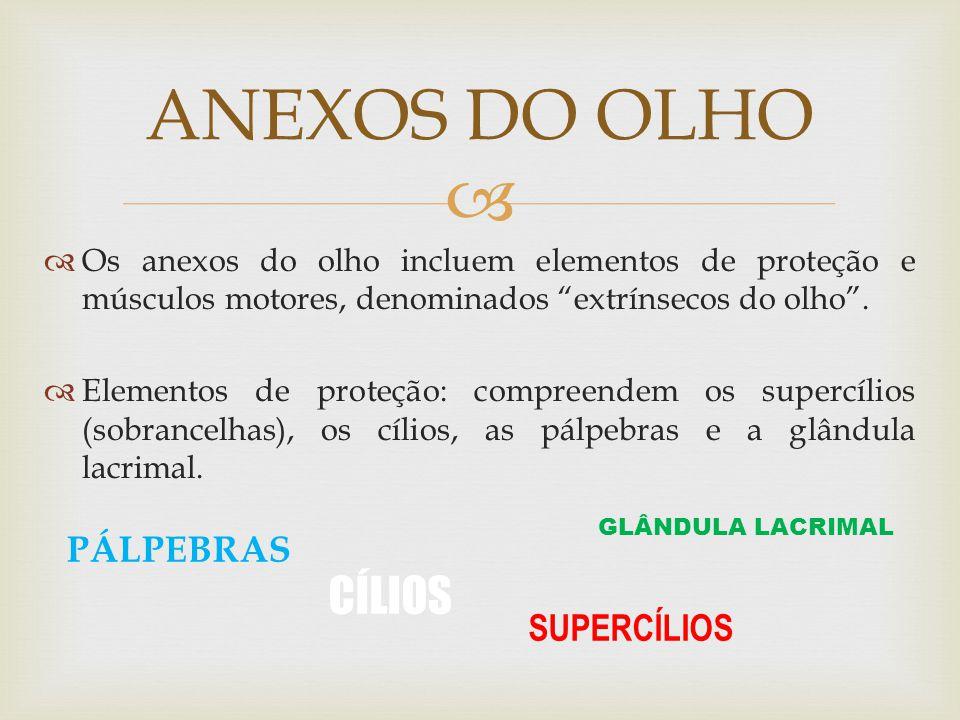 ANEXOS DO OLHO CÍLIOS PÁLPEBRAS SUPERCÍLIOS