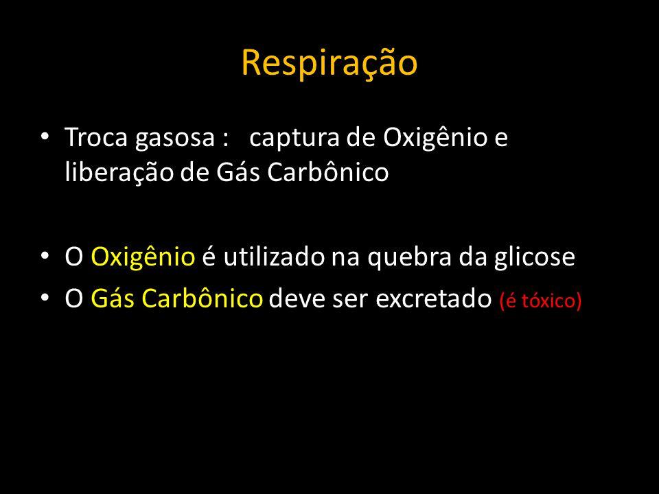 Respiração Troca gasosa : captura de Oxigênio e liberação de Gás Carbônico. O Oxigênio é utilizado na quebra da glicose.