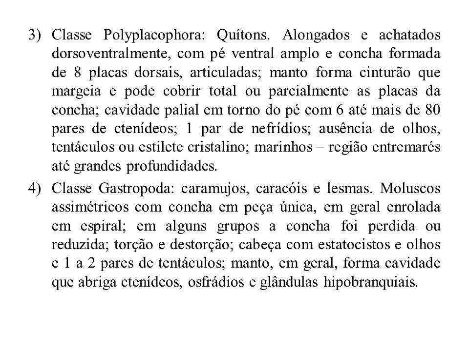 Classe Polyplacophora: Quítons