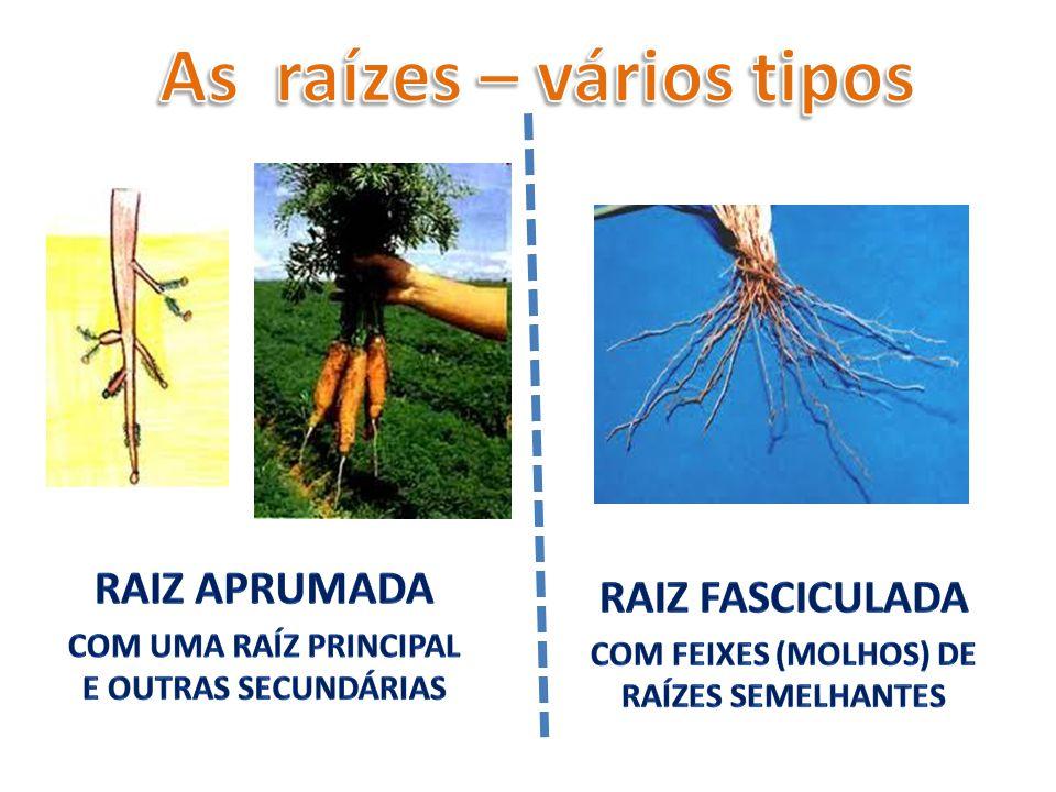 As raízes – vários tipos Com feixes (molhos) de raízes semelhantes