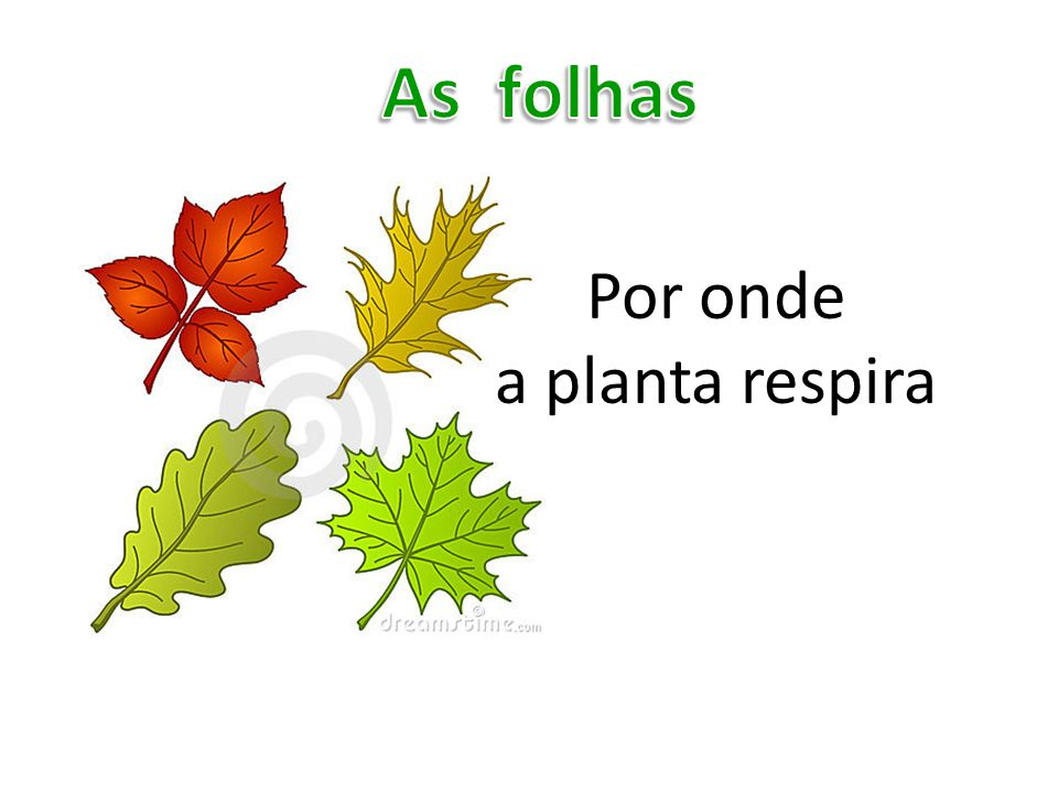 As folhas Por onde a planta respira