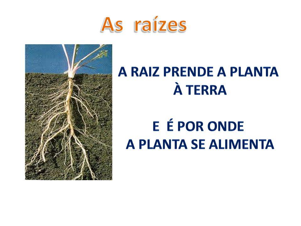 As raízes A raiz prende a planta à terra E é Por onde