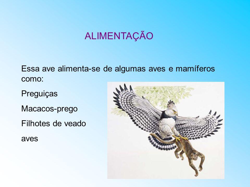 ALIMENTAÇÃO Essa ave alimenta-se de algumas aves e mamíferos como: