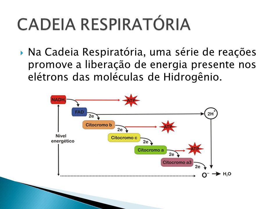 CADEIA RESPIRATÓRIA Na Cadeia Respiratória, uma série de reações promove a liberação de energia presente nos elétrons das moléculas de Hidrogênio.