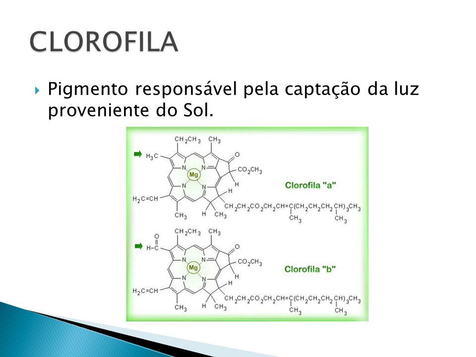 CLOROFILA Pigmento responsável pela captação da luz proveniente do Sol.