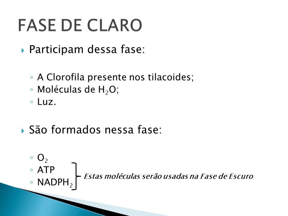 FASE DE CLARO Participam dessa fase: São formados nessa fase: