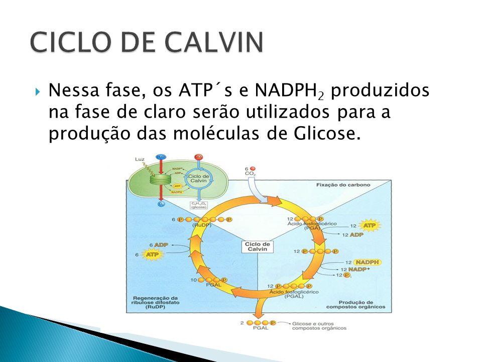 CICLO DE CALVIN Nessa fase, os ATP´s e NADPH2 produzidos na fase de claro serão utilizados para a produção das moléculas de Glicose.