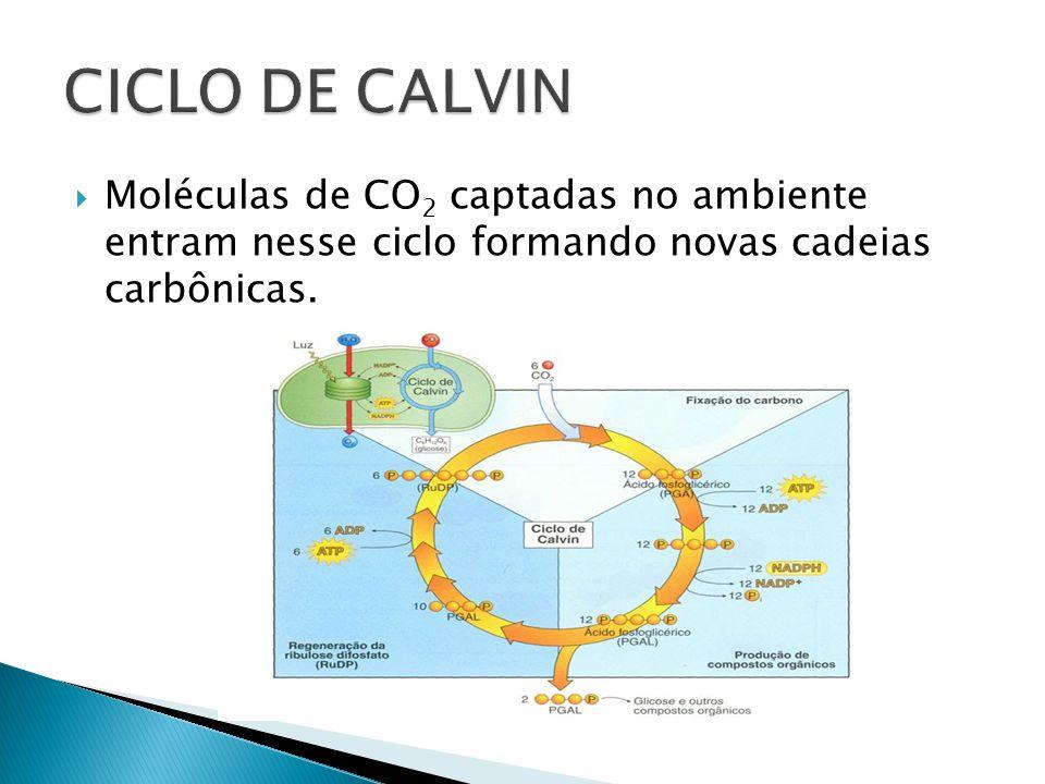 CICLO DE CALVIN Moléculas de CO2 captadas no ambiente entram nesse ciclo formando novas cadeias carbônicas.