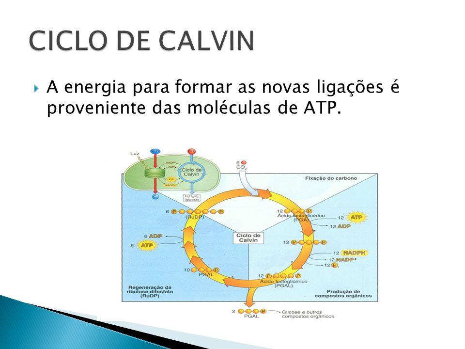 CICLO DE CALVIN A energia para formar as novas ligações é proveniente das moléculas de ATP.