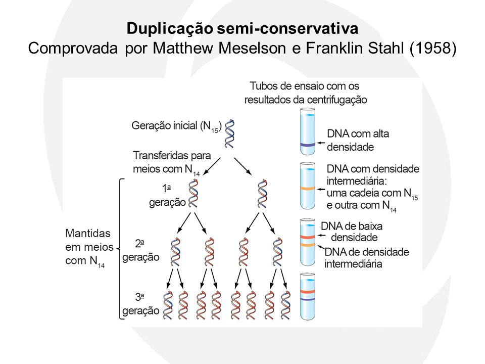 Duplicação semi-conservativa