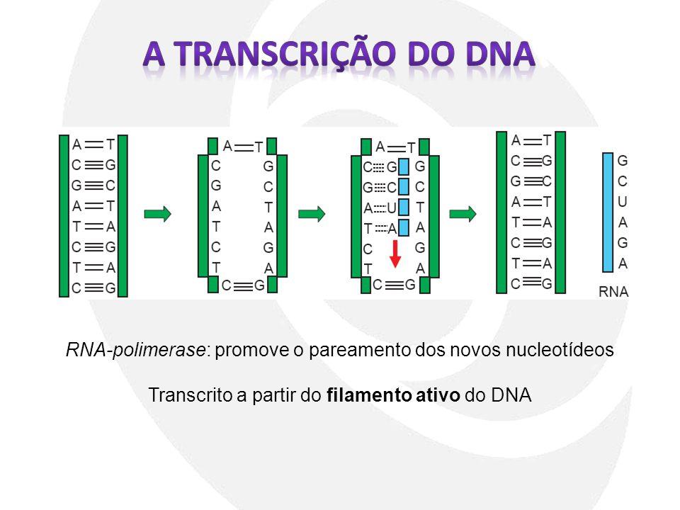 A TRANSCRIÇÃO DO DNA RNA-polimerase: promove o pareamento dos novos nucleotídeos.