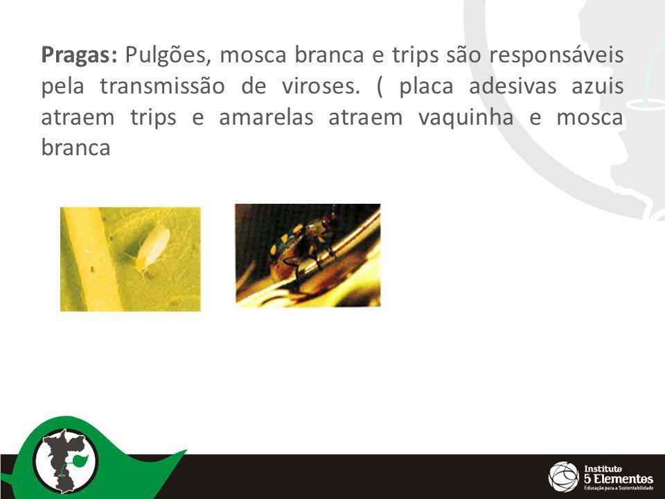 Pragas: Pulgões, mosca branca e trips são responsáveis pela transmissão de viroses.