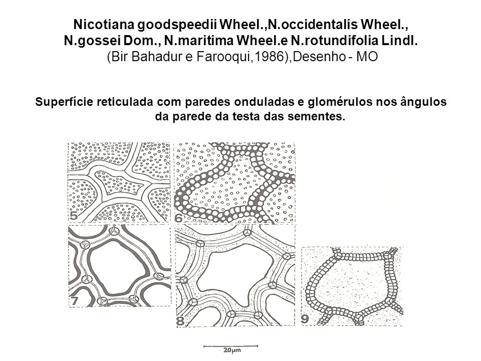 Nicotiana goodspeedii Wheel. ,N. occidentalis Wheel. , N. gossei Dom