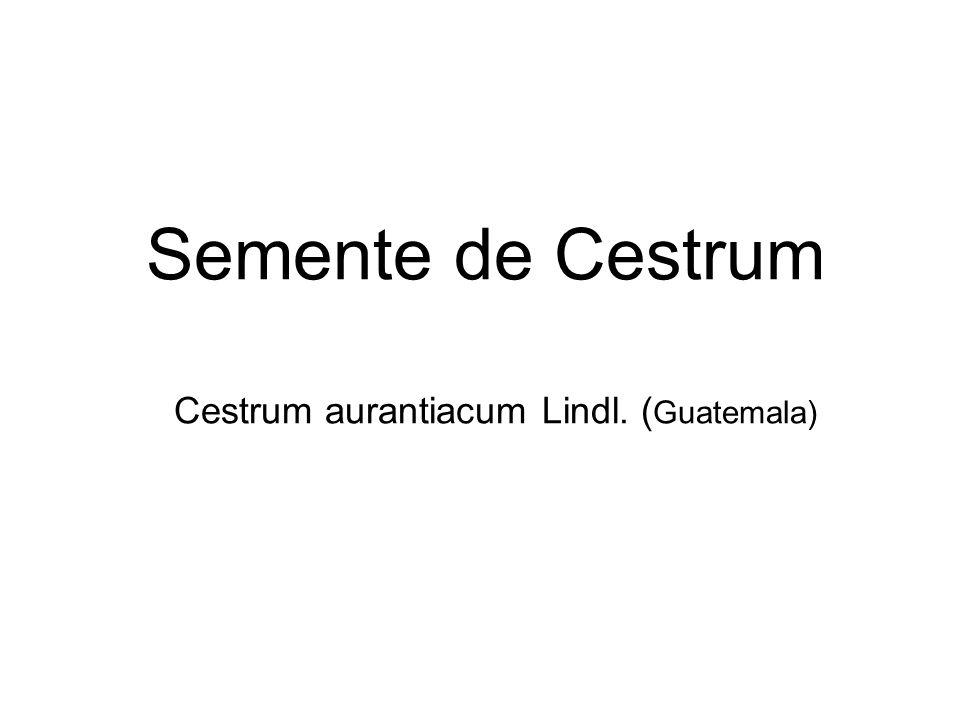 Semente de Cestrum Cestrum aurantiacum Lindl. (Guatemala)