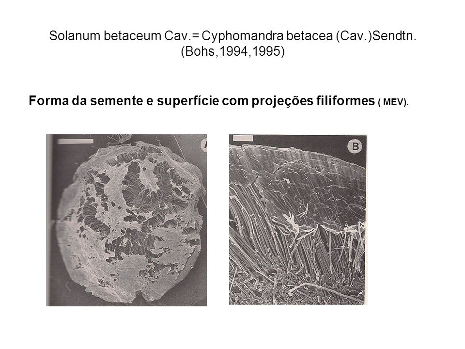 Solanum betaceum Cav. = Cyphomandra betacea (Cav. )Sendtn