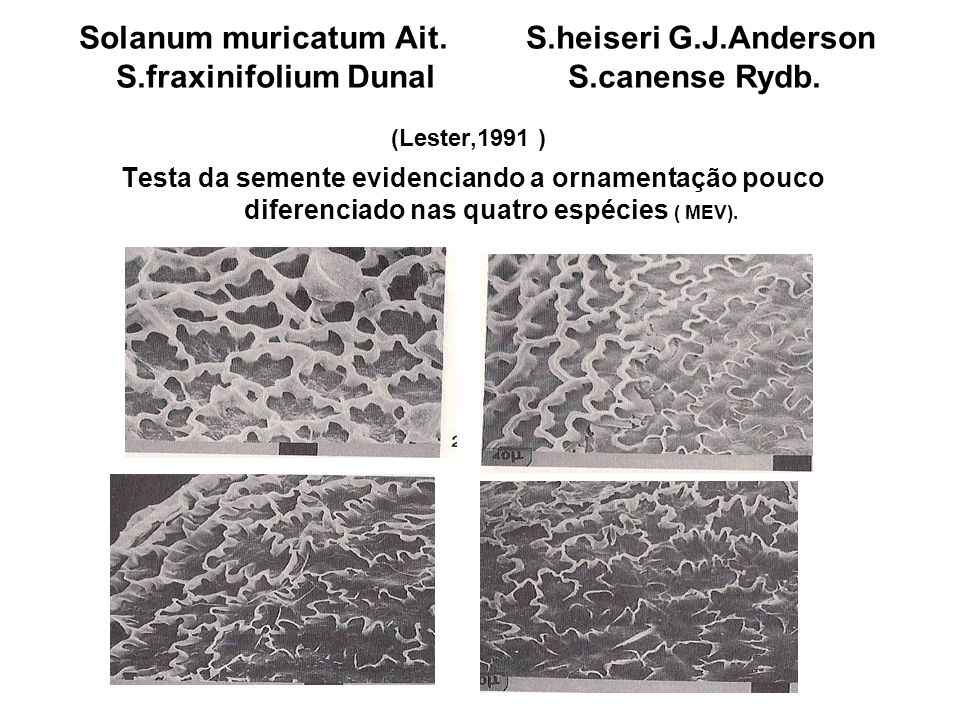 Solanum muricatum Ait. S. heiseri G. J. Anderson S