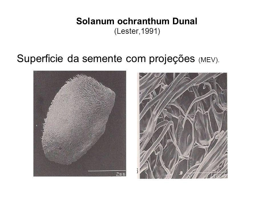 Solanum ochranthum Dunal (Lester,1991)
