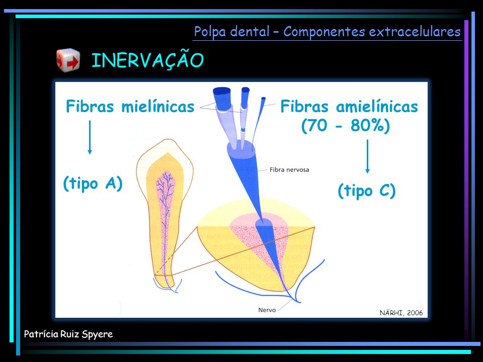 INERVAÇÃO Fibras mielínicas Fibras amielínicas (70 - 80%) (tipo A) )