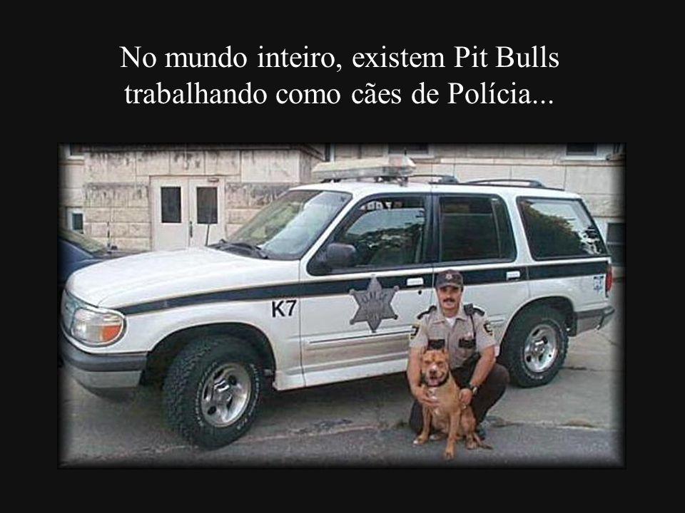 No mundo inteiro, existem Pit Bulls trabalhando como cães de Polícia...