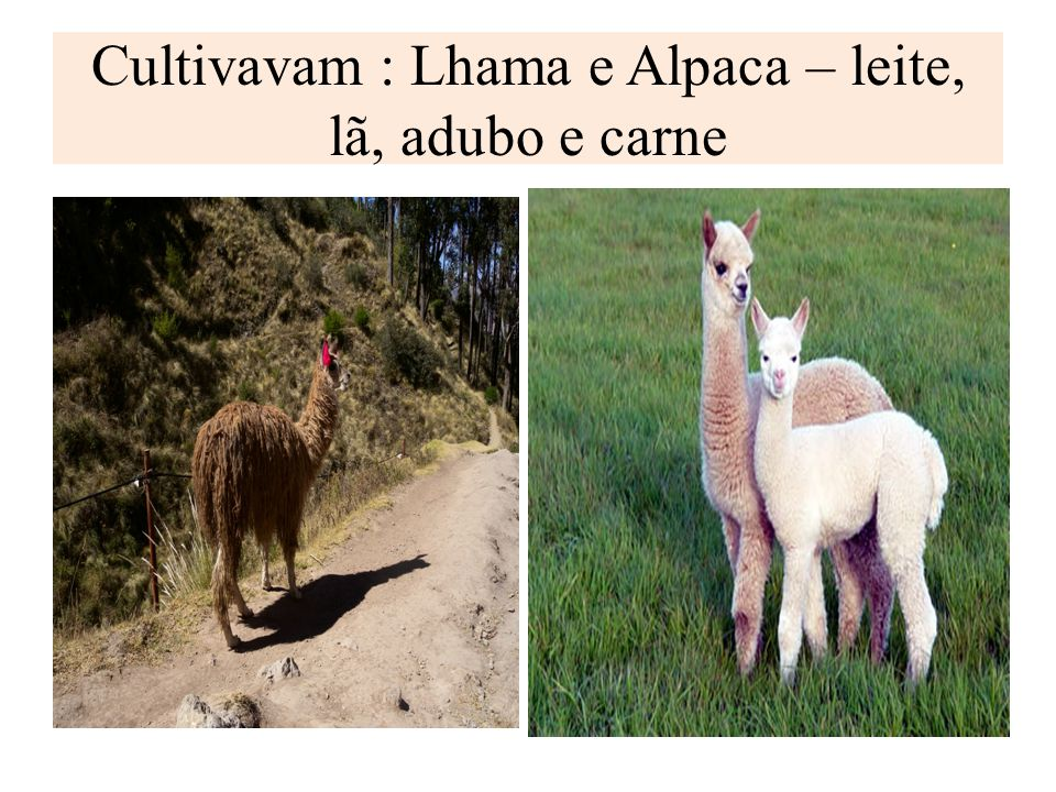 Cultivavam : Lhama e Alpaca – leite, lã, adubo e carne