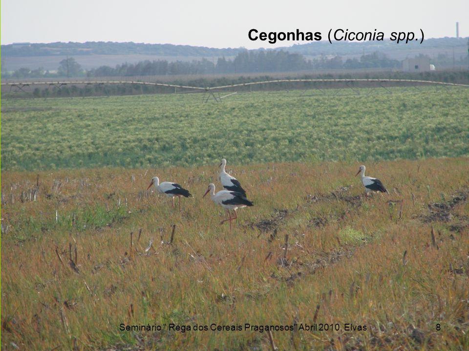 Cegonhas (Ciconia spp.)