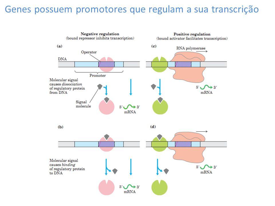 Genes possuem promotores que regulam a sua transcrição