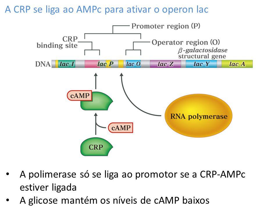 A CRP se liga ao AMPc para ativar o operon lac