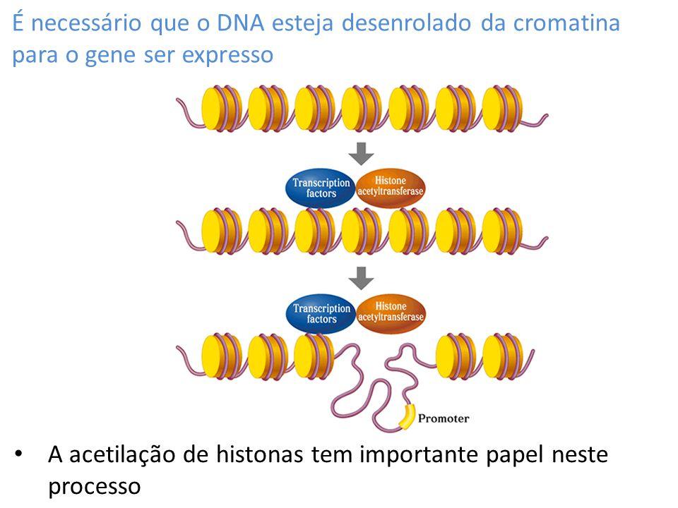 É necessário que o DNA esteja desenrolado da cromatina para o gene ser expresso