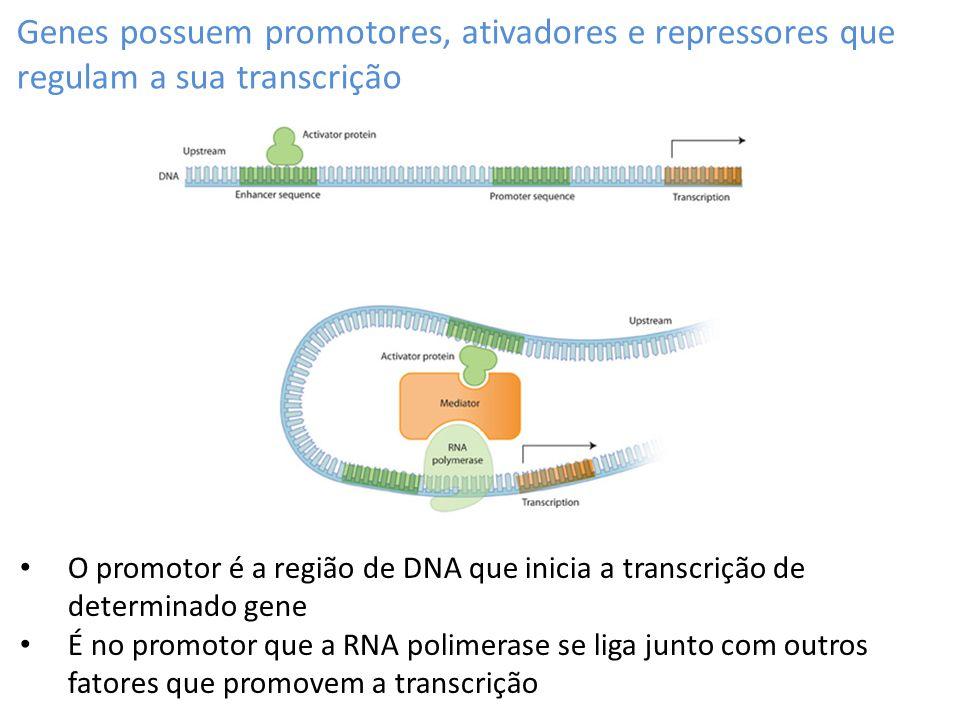 Genes possuem promotores, ativadores e repressores que regulam a sua transcrição