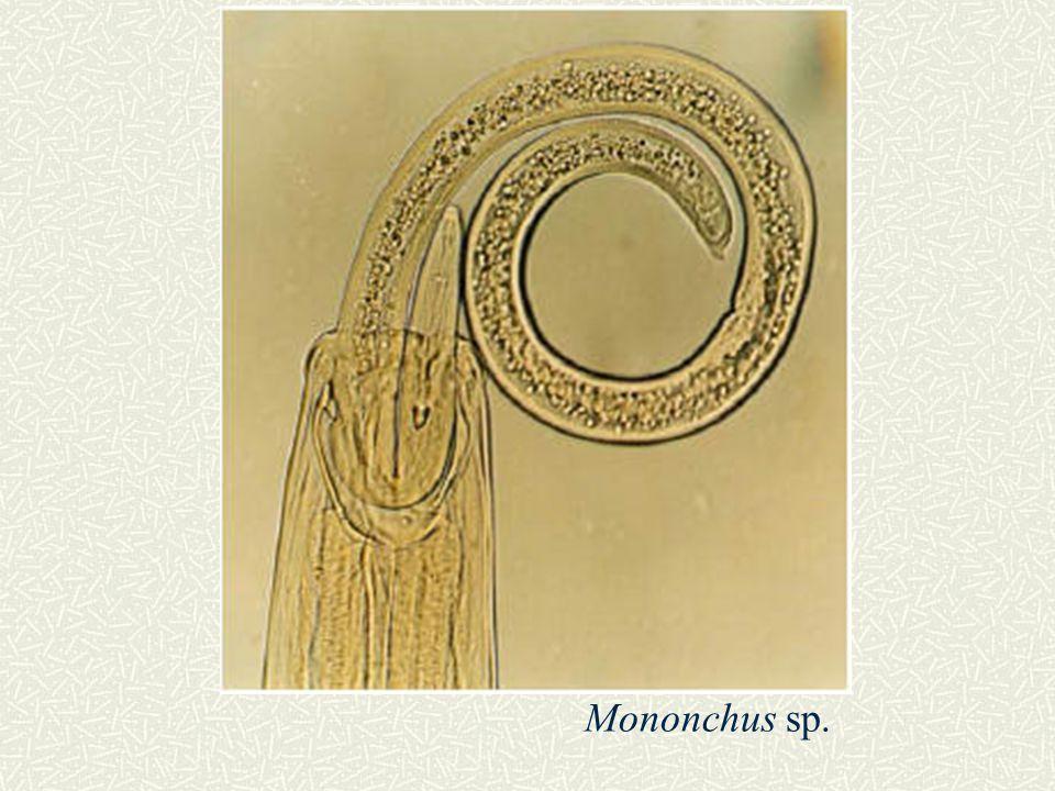 Mononchus sp.