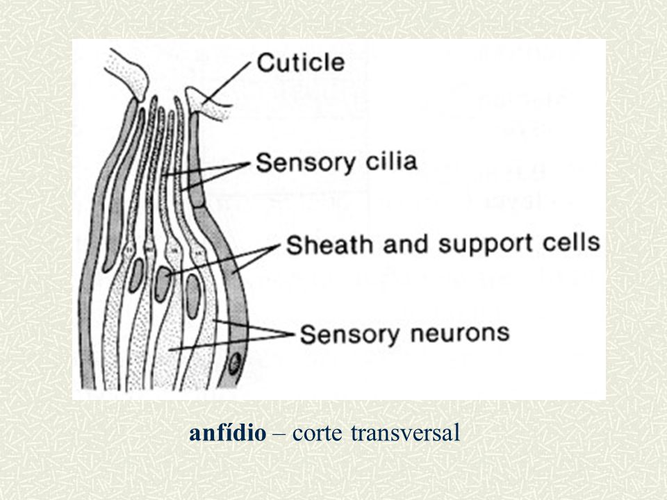 anfídio – corte transversal