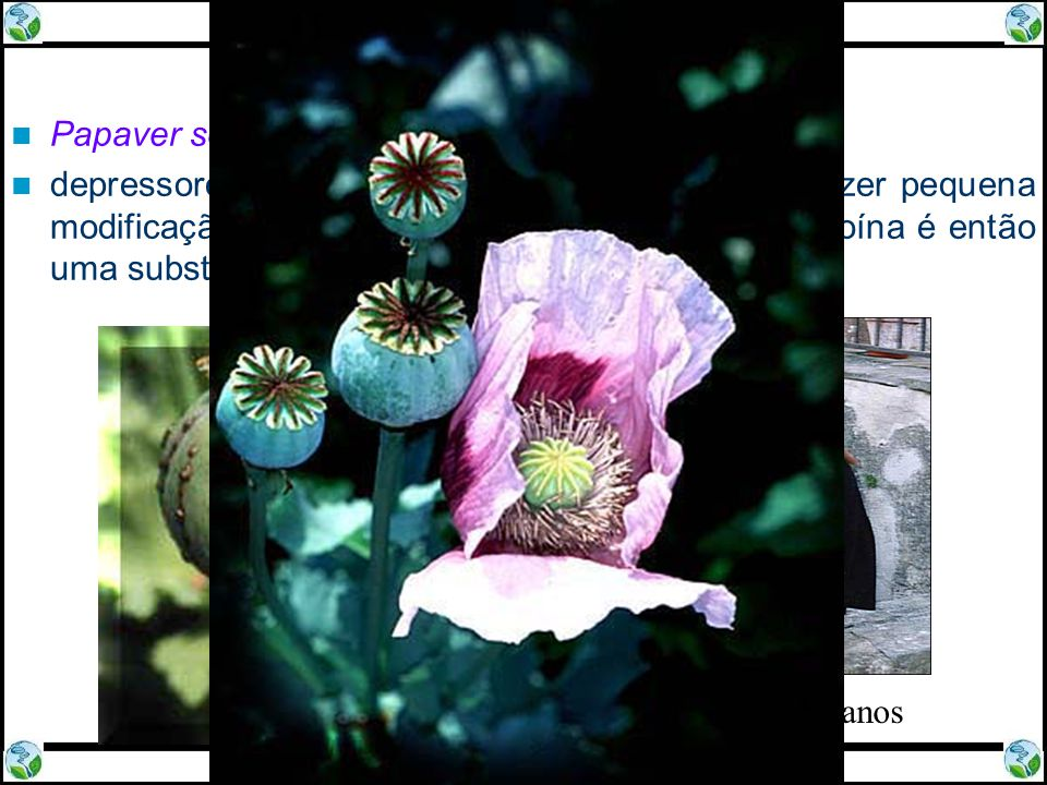 Ópio, Morfina e Heroína Papaver somniferum - papoula