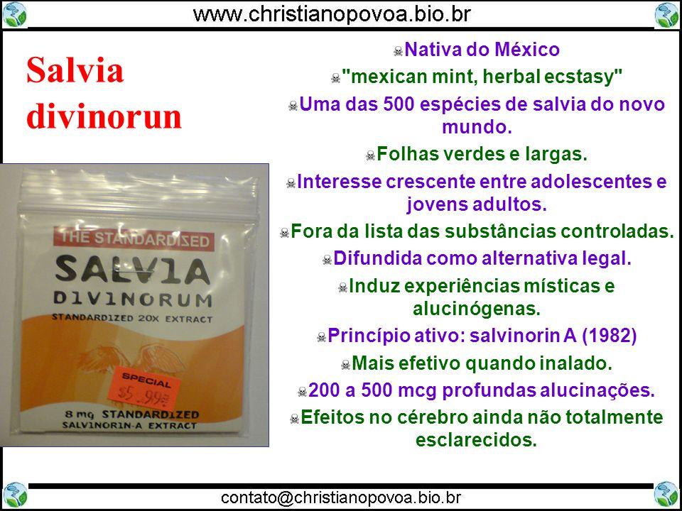 Salvia divinorun Nativa do México mexican mint, herbal ecstasy