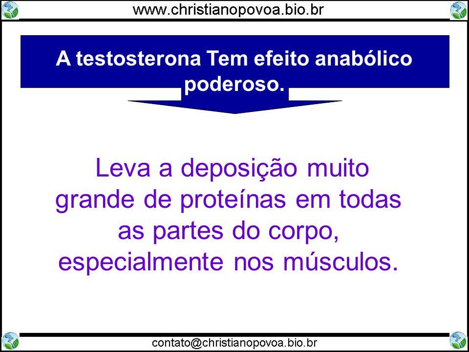 A testosterona Tem efeito anabólico poderoso.