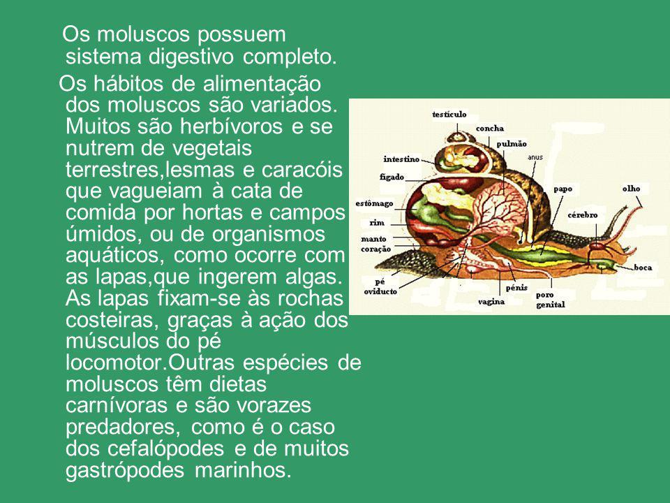 Os moluscos possuem sistema digestivo completo.