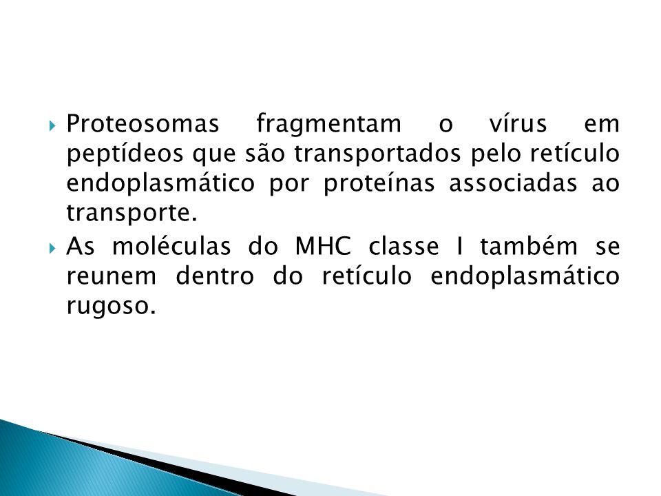 Proteosomas fragmentam o vírus em peptídeos que são transportados pelo retículo endoplasmático por proteínas associadas ao transporte.