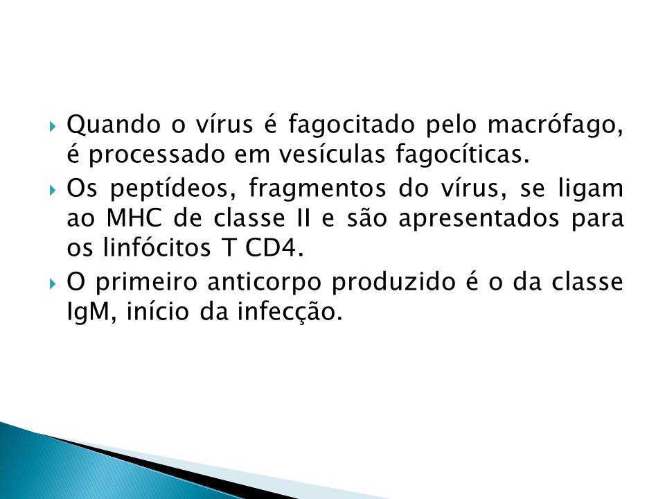 Quando o vírus é fagocitado pelo macrófago, é processado em vesículas fagocíticas.