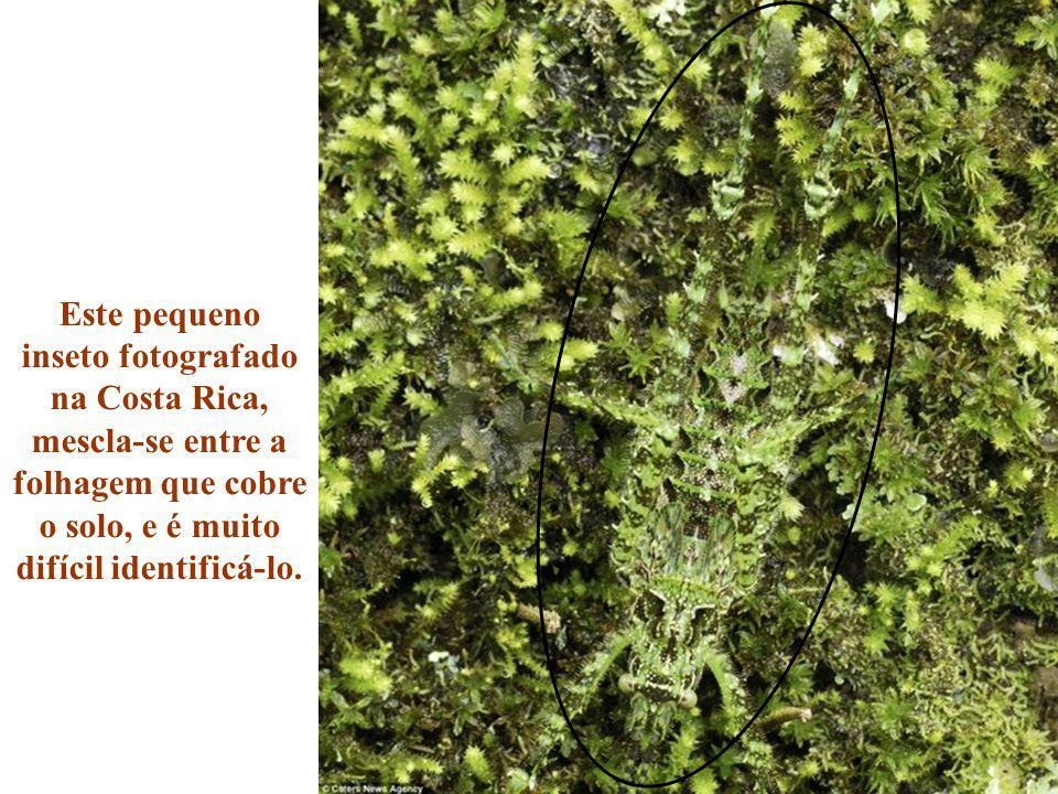Este pequeno inseto fotografado na Costa Rica, mescla-se entre a folhagem que cobre o solo, e é muito difícil identificá-lo.