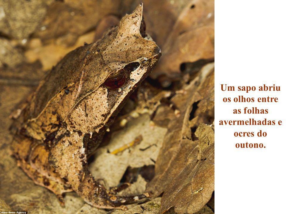 Um sapo abriu os olhos entre as folhas avermelhadas e ocres do outono.