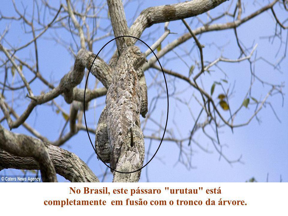 No Brasil, este pássaro urutau está completamente em fusão com o tronco da árvore.