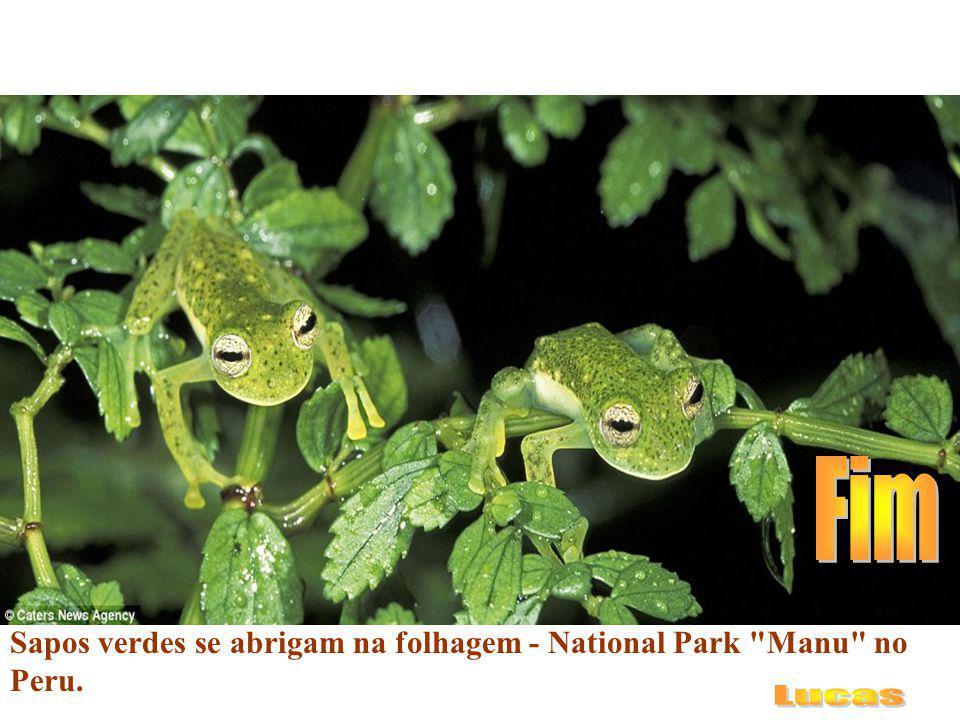 Fim Sapos verdes se abrigam na folhagem - National Park Manu no Peru. Lucas