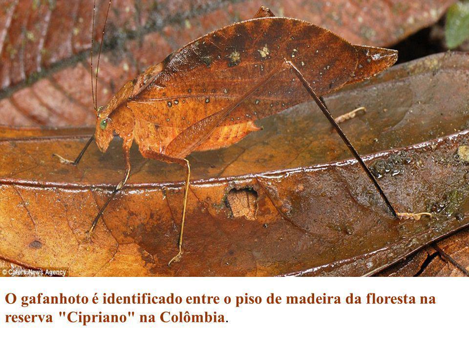 O gafanhoto é identificado entre o piso de madeira da floresta na reserva Cipriano na Colômbia.