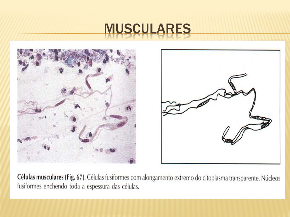 Musculares