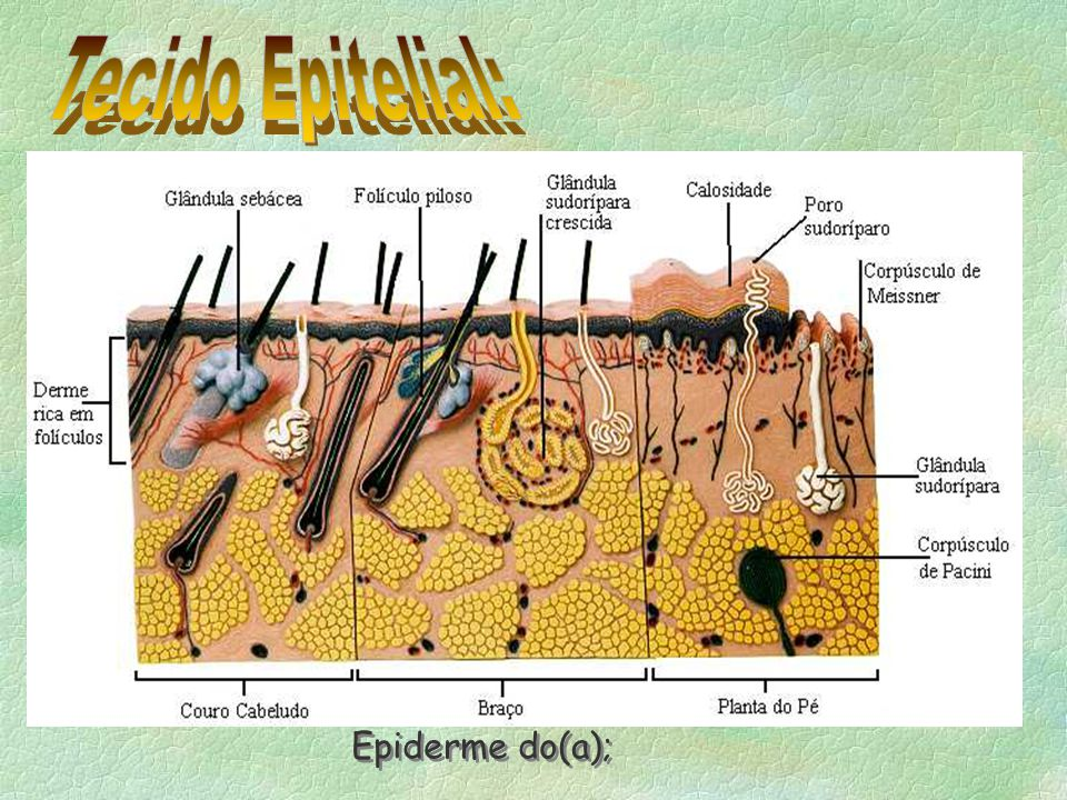 Tecido Epitelial: Epiderme do(a);