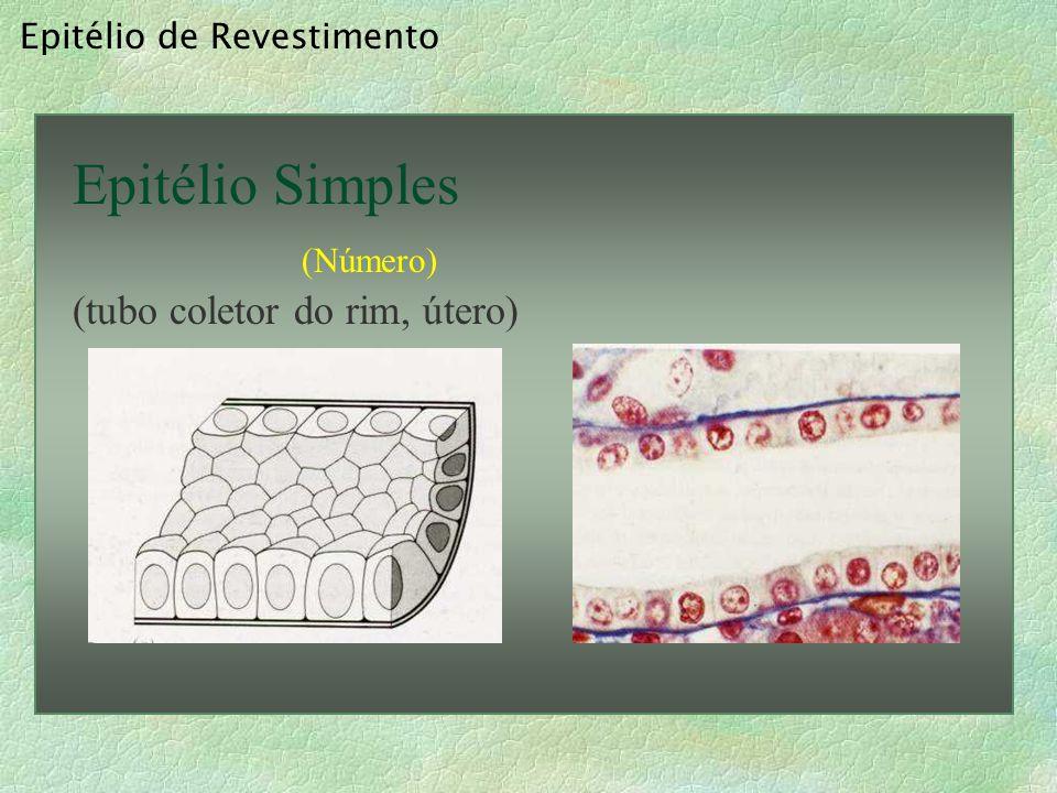 Epitélio Simples (tubo coletor do rim, útero) Epitélio de Revestimento