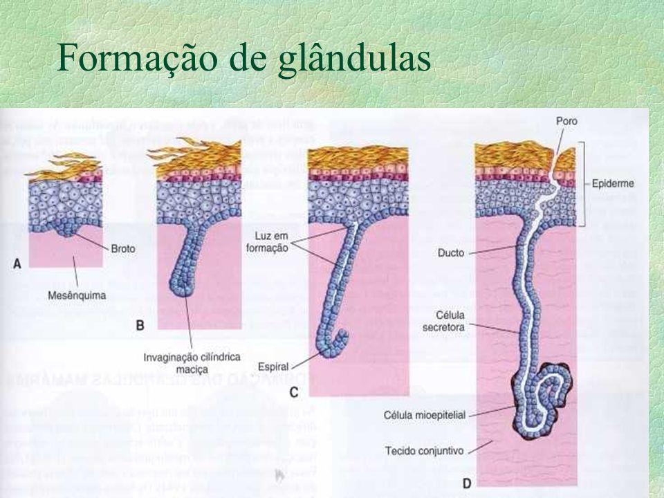 Formação de glândulas