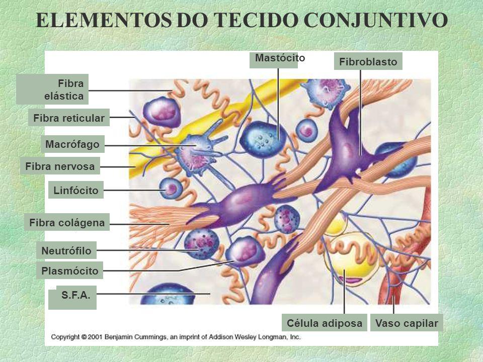 ELEMENTOS DO TECIDO CONJUNTIVO