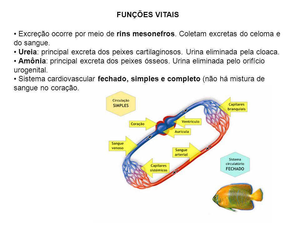 FUNÇÕES VITAIS Excreção ocorre por meio de rins mesonefros. Coletam excretas do celoma e do sangue.