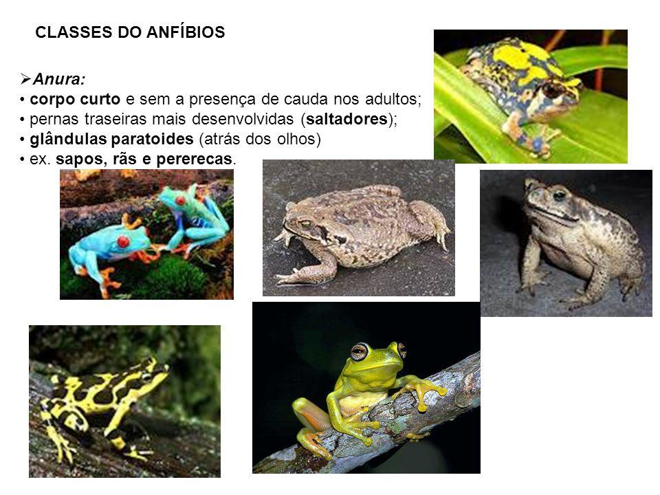 CLASSES DO ANFÍBIOS Anura: corpo curto e sem a presença de cauda nos adultos; pernas traseiras mais desenvolvidas (saltadores);