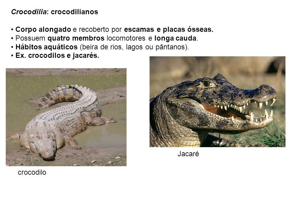 Crocodilia: crocodilianos